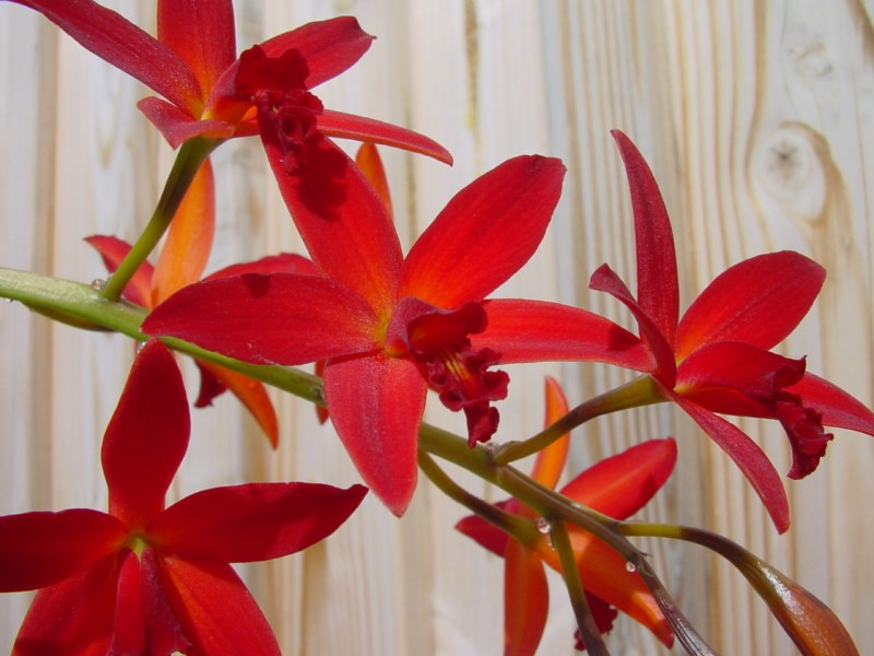 Slc. Hsiang Yu Red Pearl 'red Dragonfly' 918505DSC05751800x600