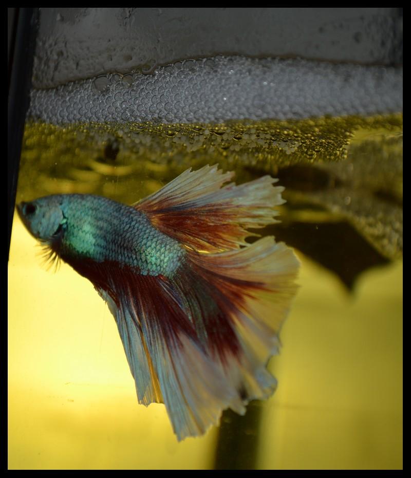 Mâle HM dragon BF x Femelle HM turquoise 925674DSC2181