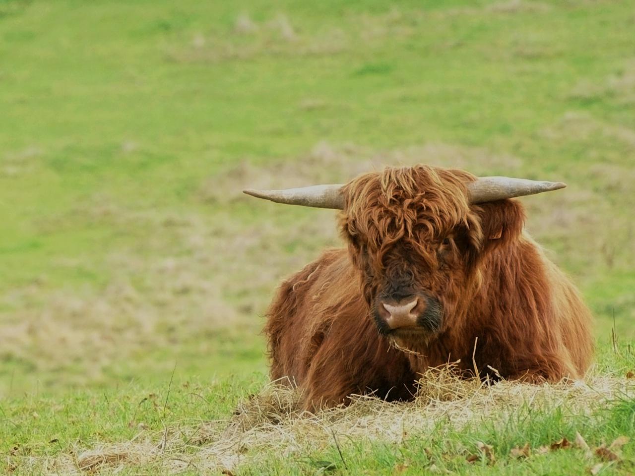 Vache Highland 925720882