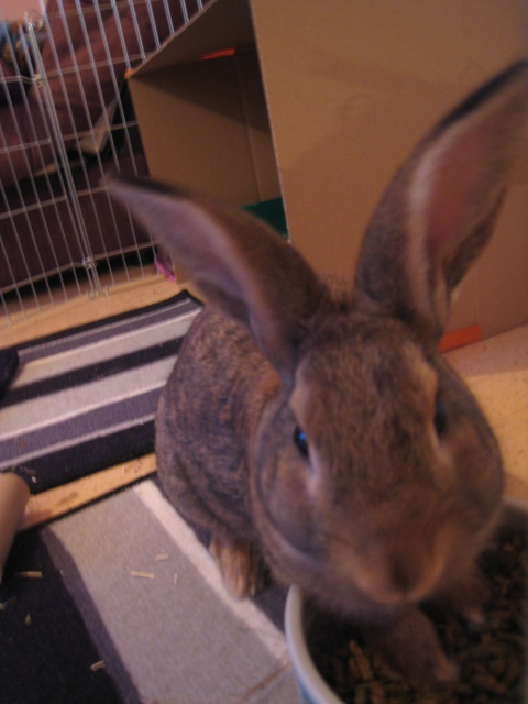 Huggy, - jeune lapin garenne de grande taille [Ani-nounou] 928113huggy3