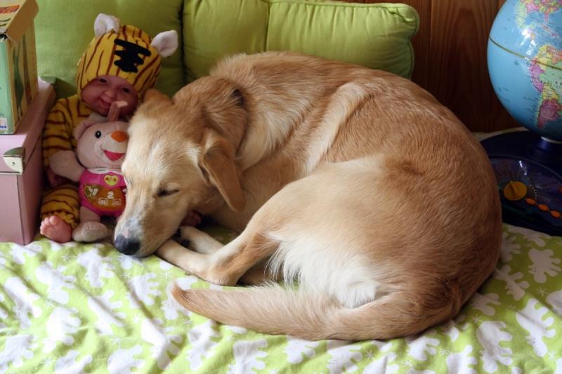 Honey, femelle croisée labrador/chasse disparue le 25/08 de St Benin des bois (58) 930029IMG0813