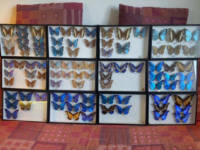 (trouvé) Morpho de la collection E. Le Moult 93043920121231091906