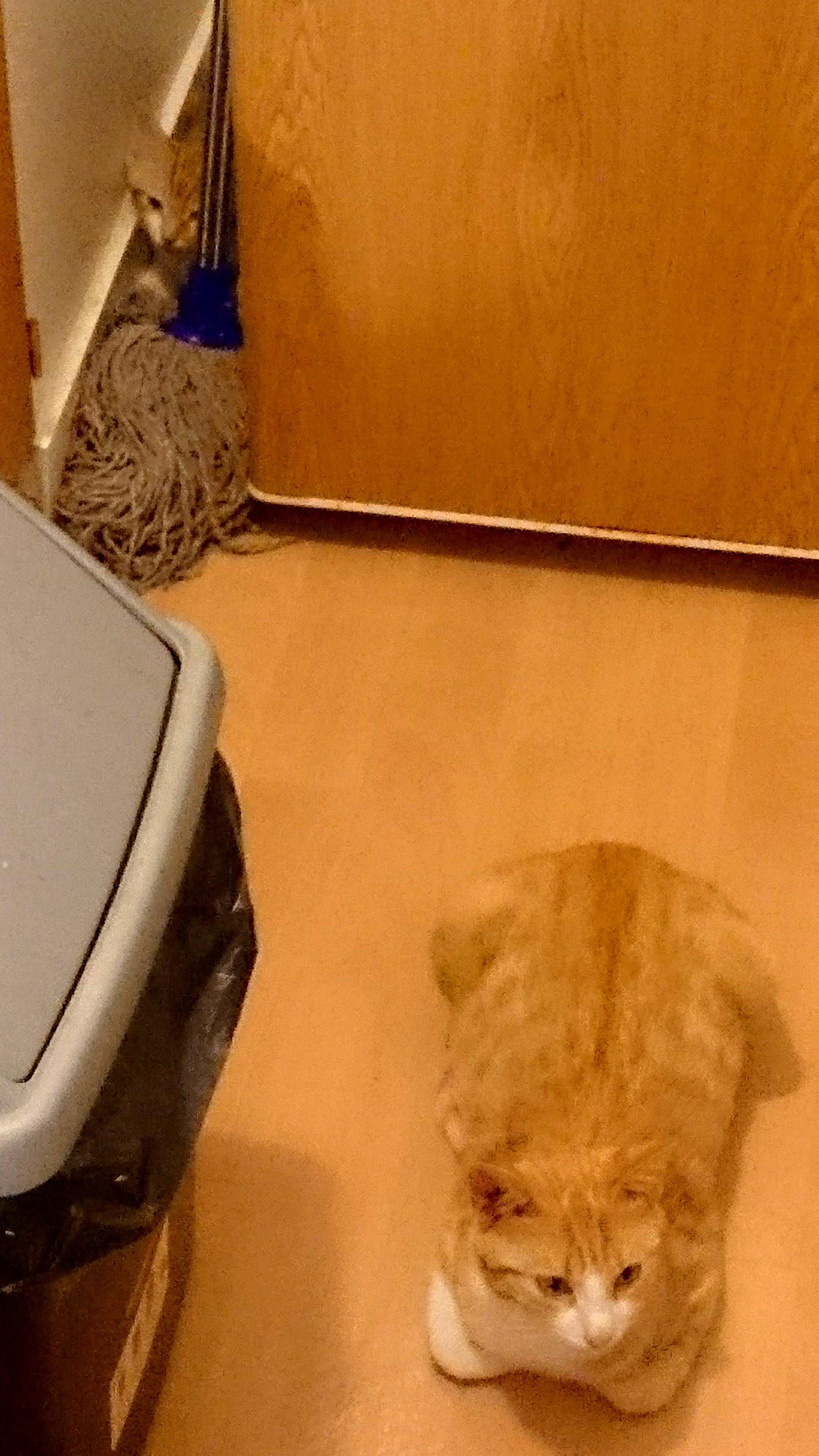 Myla, femelle type européen blanche et rousse née 01/09/2015 931721DSC0819