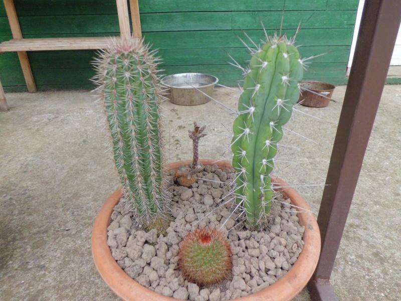 cactus de pô 940169CIMG4211