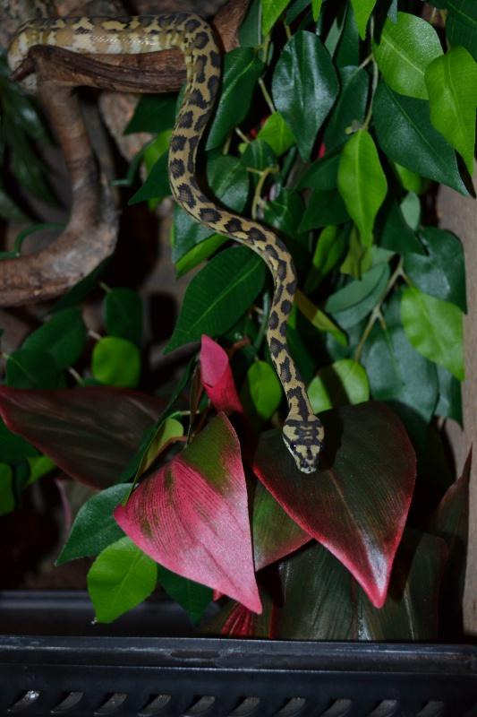 Morelia spilota variegata Irian Jaya [ Mon Wajah ] 953680DSC0281