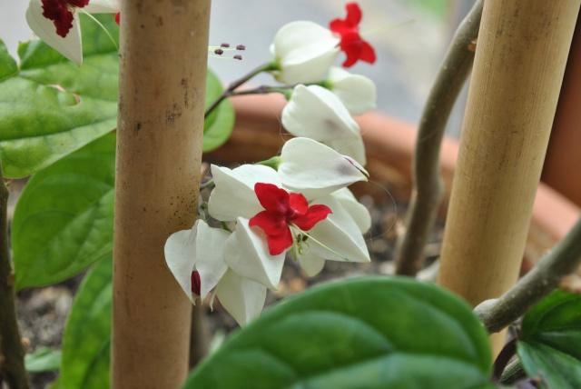 Mon clerodendrum en fleurs  953990DSC0718