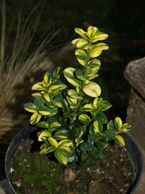 buxus sempervirens aureovariegata 955824PC228921