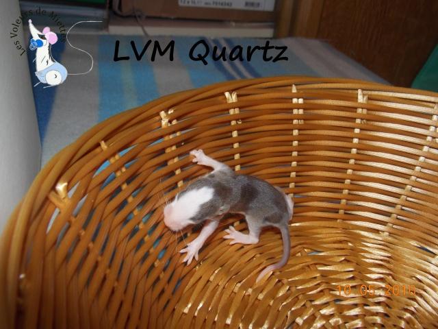 Portée 14: IND Limestone x LVM Kismi Honey 957523mleeagoutistandard