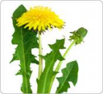 Partie Guérisseur : Les plantes de la Forêt 959965pissenlit