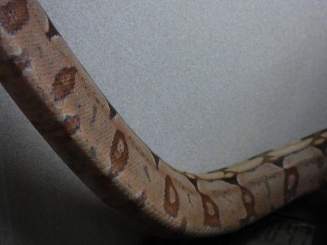 Boa constrictor amarali - Page 2 963916P1020585