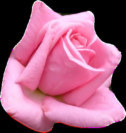 Tubes roses 964472Gibsong4iz