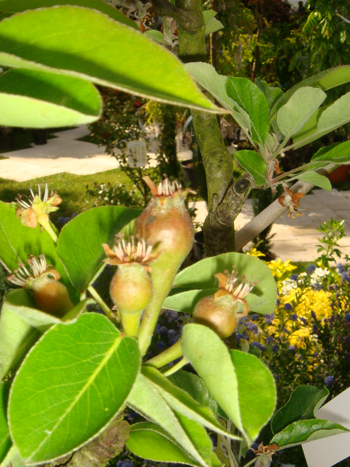 [Fil ouvert] Fruit sur l'arbre 965021DSC07972