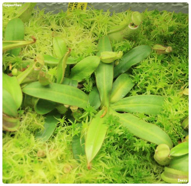 Quel nom donner pour cette Nepenthes Albomarginata ? 966223NepentheAlbomarginataDark640x480