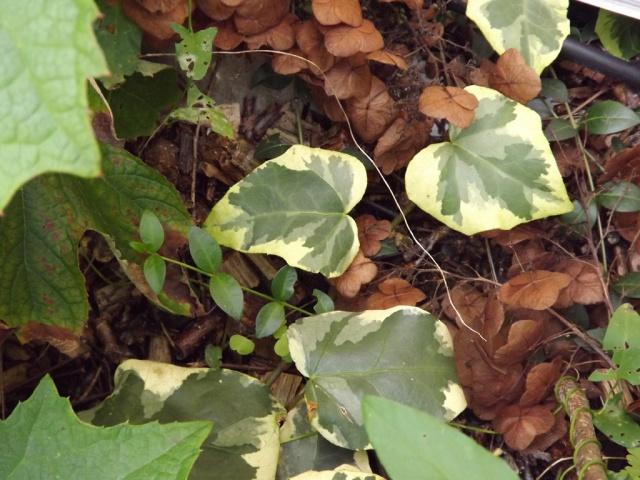 Hedera - lierre - espèces, hybrides horticoles 966643lierre4
