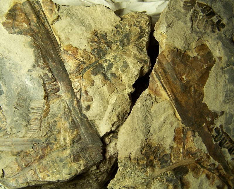 Eusphenopteris rotundiloba, Eusphenopteris talensii 968644Copiade1002832