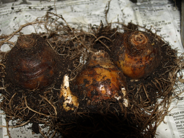 Bulbes de Fleur d'Ananas (Eucomis bicolor) 969124P2023363