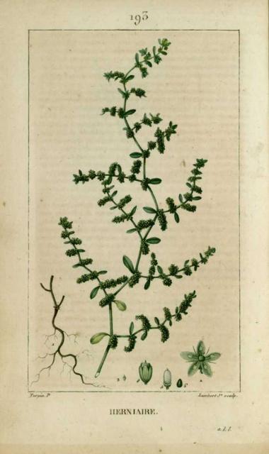 09/2014 Botanique 969161herniaire