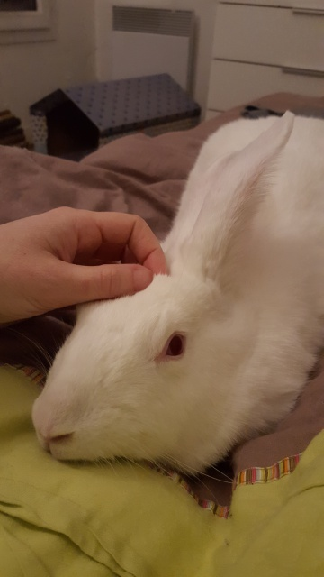 [ADOPTEE] Acacia, lapine de laboratoire à adopter 97080720160112235750