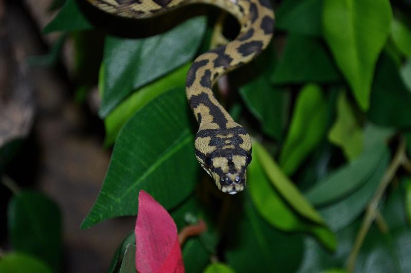 Morelia spilota variegata Irian Jaya [ Mon Wajah ] 972753Waajah