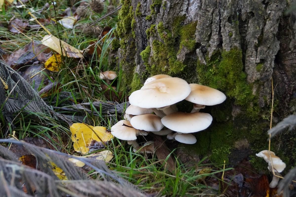 [fil ouvert] les champignons - Page 3 975601DSC03738
