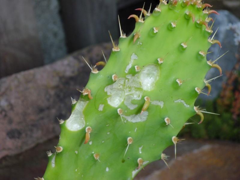 cactus de pô - Page 2 979137CIMG4584