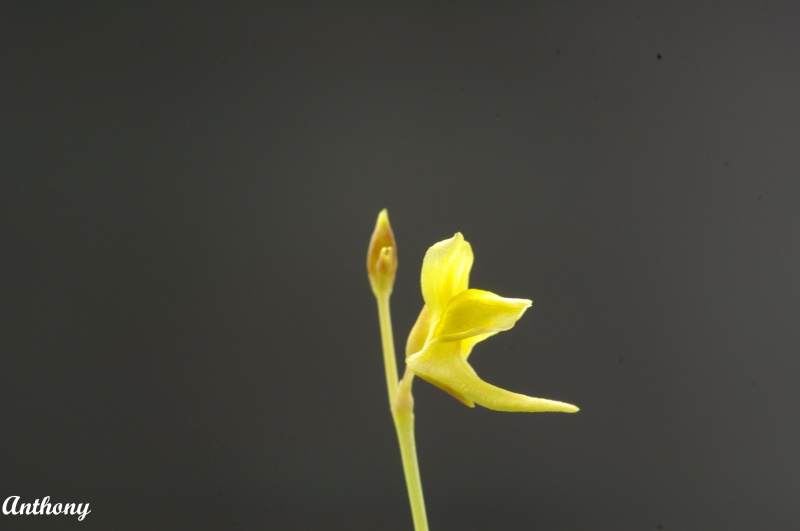 Utricularia Laxa 984024IMGP4616