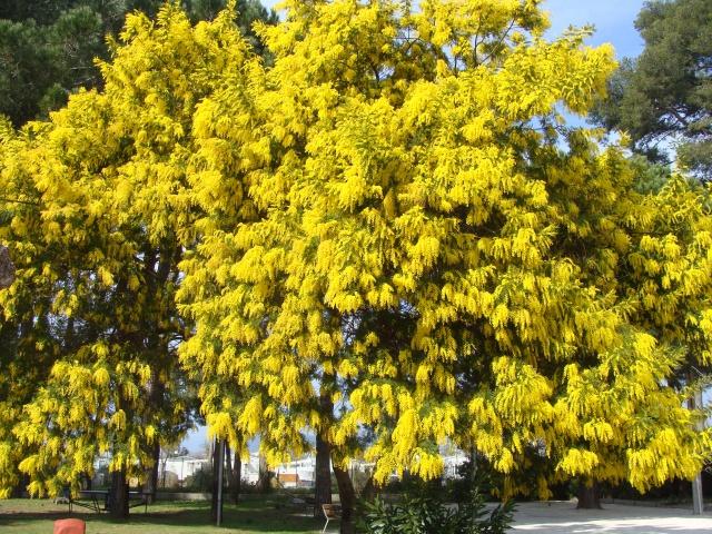ça commence a fleurir...(Mimosa, Acacia dealbata) - Page 4 988010DSC05252