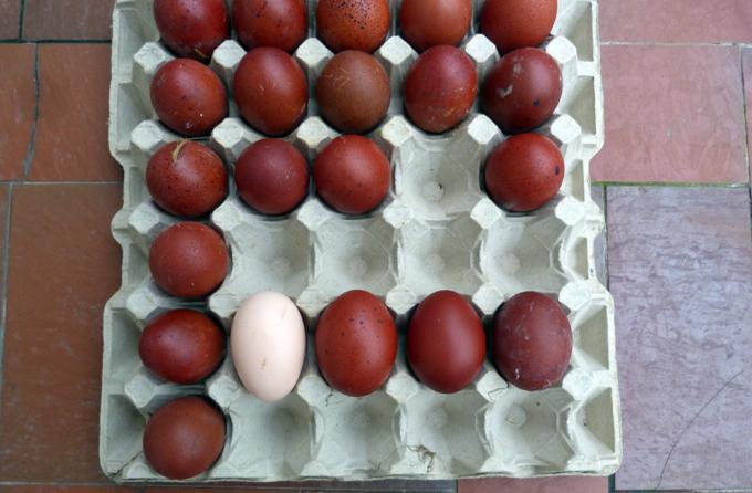 marans - Les œufs de mes jeunes Marans BCC/NCC 991880ufsJ