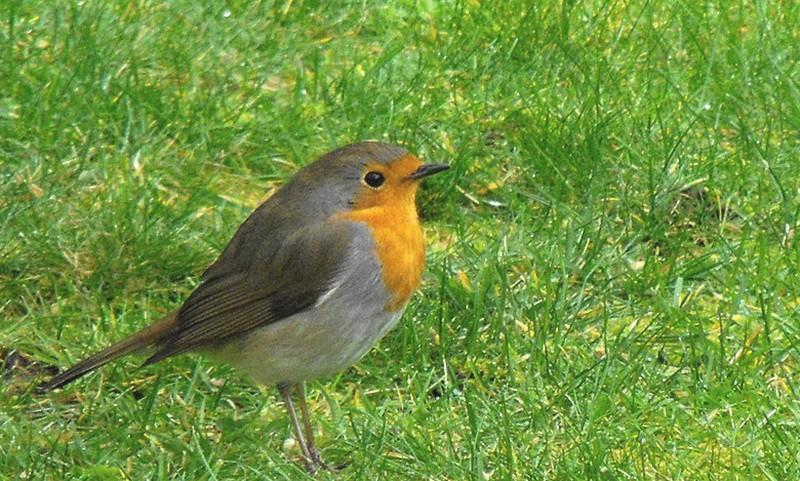 Fil rouge - Les oiseaux de nos régions 995398rg002