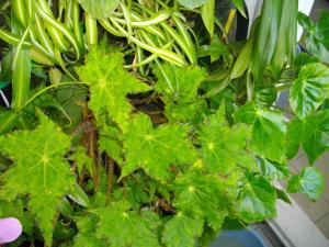 culture des bégonias sur mur végétal Mini_124267IMGP3863