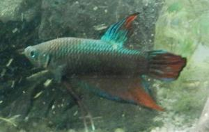 Ménagerie, plus de 3.000L d'aquariums - Page 2 Mini_149442BettaMles0005
