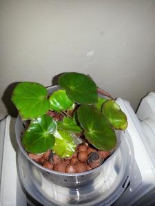 bégonias nénuphar - Begonia 'Erythrophylla'  - Page 2 Mini_15111620150119150153