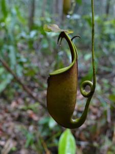 Nepenthes bicalcarata à Mulu NP Mini_163235P1040663