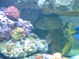 1500 litres aquarium récifale - xavier34 Mini_179391achillefringue003