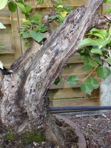 Prunus mahaleb No 2 Mini_203094DSC00570
