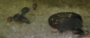 Ménagerie, plus de 3.000L d'aquariums - Page 2 Mini_212129EscargotAutres0012