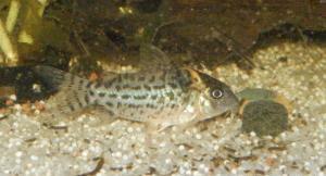 Ménagerie, plus de 3.000L d'aquariums - Page 2 Mini_220801CorydorasLeucomelas0008