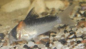 Ménagerie, plus de 3.000L d'aquariums Mini_229752CorydorasAdolfoi0002