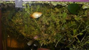 Ménagerie, plus de 3.000L d'aquariums - Page 2 Mini_236541GouramiMiel0011