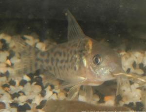 Ménagerie, plus de 3.000L d'aquariums - Page 2 Mini_236964CorydorasLeucomelas0003
