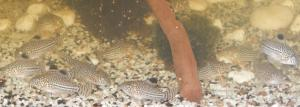 Ménagerie, plus de 3.000L d'aquariums Mini_253985CorydorasTrilineatus0007
