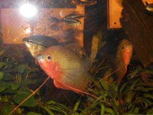 Ménagerie, plus de 3.000L d'aquariums - Page 2 Mini_268004GouramiPerl0035