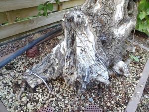 Prunus mahaleb No 2 Mini_280674DSC00563