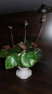 bégonias nénuphar - Begonia 'Erythrophylla'  - Page 2 Mini_28301120151231171724