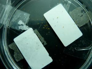 Germination de graines d'U.calycifida en boite de Pétri Mini_285985P1130775