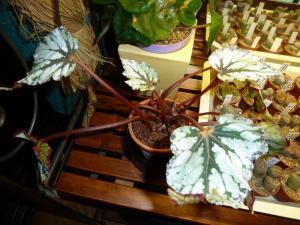 Mes plantes-boutures rescapées de cet hiver... Mini_3139926113