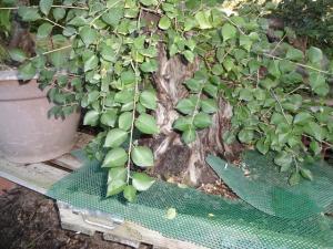 Prunus mahaleb No 2 Mini_316434DSC00562