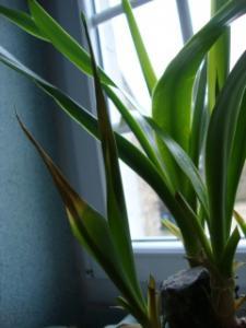Yucca : ses feuilles s'enroulent à l'extrémité et jaunissent Mini_316981DSC02053