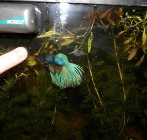 [Poubellarium 2015] Horlack : Corydoras, Killies Mini_318432114