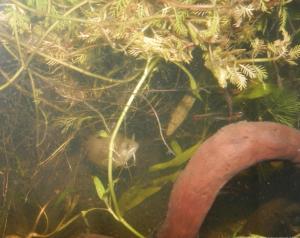 Ménagerie, plus de 3.000L d'aquariums - Page 2 Mini_319454GouramiMiel0032